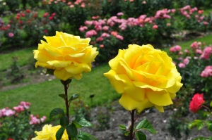 most-beautiful-rose-gardens-in-the-world-k0umet1x