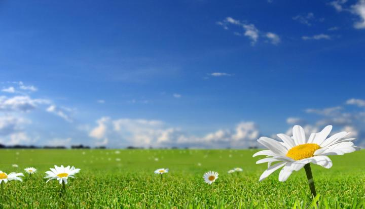 field-of-daisies